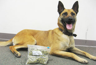 K9 Nora, a Belgian Malinois, is one of the newest membeers of the K-9 Program.